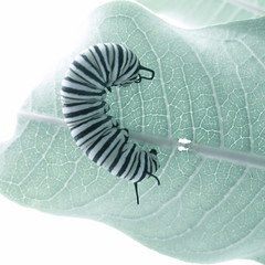 Hungry Caterpillar (sonyacita) Tags: square leaf caterpillar bsquare partiallydesaturated utata:project=ip131