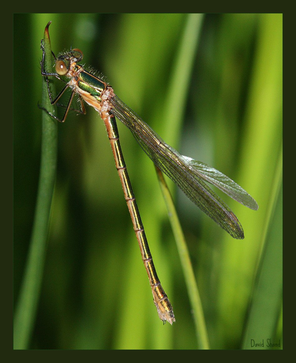 A female Common Spreadwing, Lestes sponsa on the Hill of Alyth pond.
