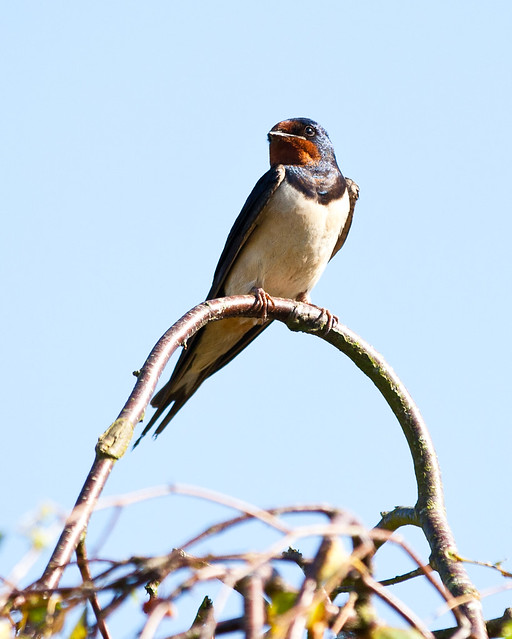Swallow on it's Favourite Perch