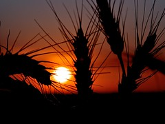 Sunset at  the wheat field (Go 4 IT) Tags: blue sunset shadow black field closeup nikon outdoor wheat grain wow1 wow2 amateurphotography flickraward platinumheartaward nikonflickraward doublyniceshot flickrbronzeawardgroup tripleniceshot mygearandme ringexcellence dblringexcellence tplringexcellence d3100 nikonafs1685mmf3556gedvrdx flickrstruereflection1 flickrstruereflection2 flickrstruereflection3 4timesasnice evghenitirulnic