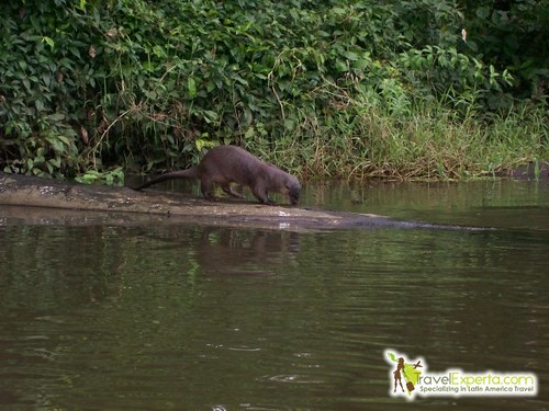 River Otter in Tortuguero National Park