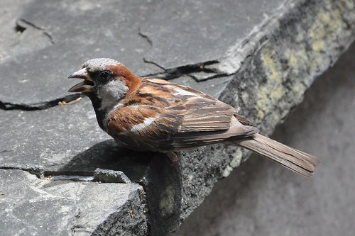 House Sparrow behind Cafe du Monde