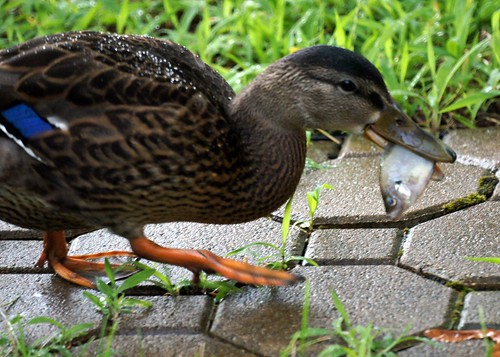Duck eating a Fish