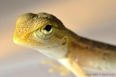 Baby gecko (syza aljufri) Tags: macro closeup fauna sb600 tokina malaysia gecko babygecko tokina100mmf28atxprod tokinaaf100mmf28macro atxm100afprod d7000