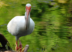 Whatchu lookin' at? (VeeeeBeeee) Tags: white bird gardens ibis american stare mead