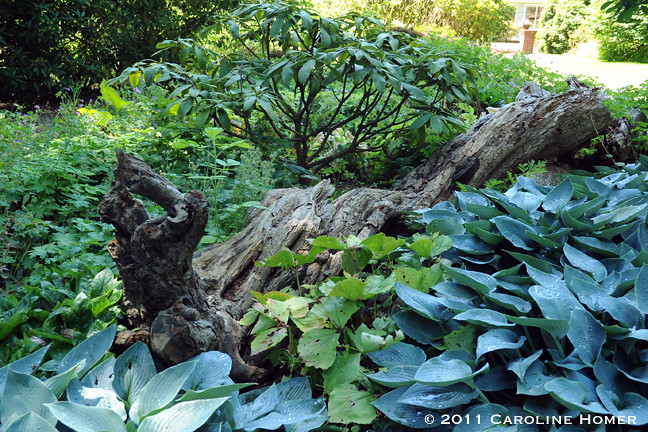Fallen tree in the Triangle Bed