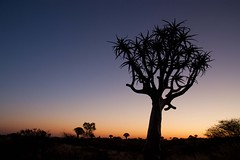 Twilight (biancapreusker) Tags: africa sunset silhouette namibia keetmanshoop quivertree kokerboom 2011 canon450d thechallengefactory