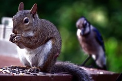 Watch Your Back (Leah Fauller) Tags: squirrel bluejay stalking