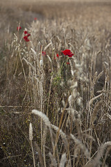 Splash (nickmansell) Tags: summer field wheat poppies englishfield
