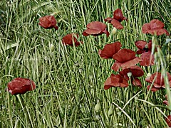Piccoli pensieri rosso sangue (cjnzja) Tags: flowers red blood little thoughts rosso pensieri sangue papaveri piccoli