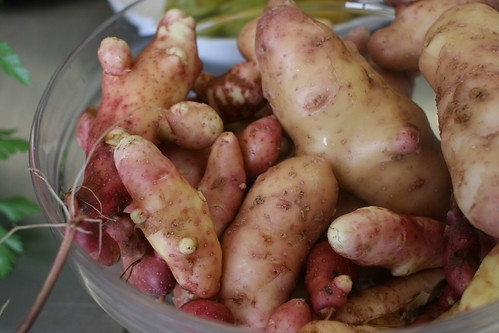 Beautiful pink fir potatoes