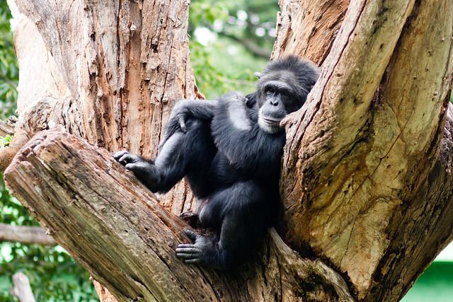 Lounging Gorilla