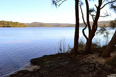 Narrabeen Lakes (CookeRS Photography) Tags: trees dog lake water animals wildlife narrabeen
