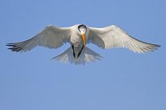 The Elegant Tern (bmse) Tags: canon fly flying wings chica flight 7d elegant bolsa tern wingspan span 56 salah 400mm bmse baazizi