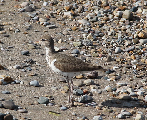 spotted sandpiper (cropped)