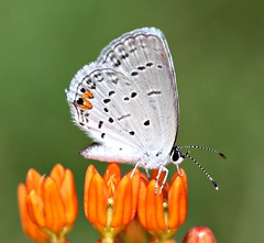 Eastern Tailed Blue on Butterfly Weed (DrPhotoMoto) Tags: picnik indianpaintbrush butterflyweed asclepiastuberosa easterntailedblue pleurisyroot chiggerflower tuberroot everesmonyntas