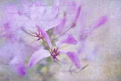 Angel Kiss (Jacky Parker Floral Art) Tags: uk flower macro art texture nature floral horizontal closeup landscape flora purple creative softfocus orientation prose frenchkiss cleome floralessence