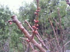 Apricots in bud