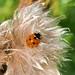 Ladybird Ham Fen