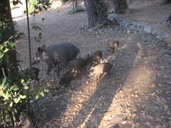 IMG_2448 (Egemen Akbudak) Tags: karasu millipark domuz güzelçamlı