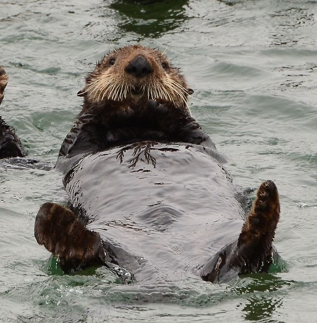 Sea Otter Looking at You