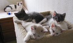 Bianca and her Kittens (whaas987) Tags: kittens cutekittens