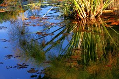 Reed reflections (Sokleine) Tags: france reflection leaves reeds pond eu provence reflets roseaux feuilles bassin 84 vaucluse bdoin blzy