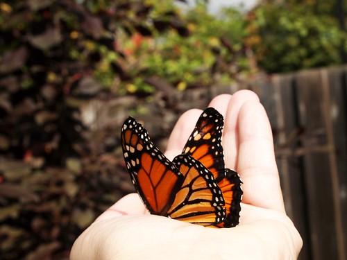 Monarch butterfly in hand.