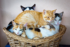 Basket cat (Juan Antonio Cap) Tags: animal cat kat feline chat gato felino katze mace  gatto  kot gat koka kedi kissa kttur maka kucing pusa mo moix    minino    pisic