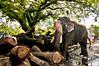 Jai Jumbo - Elephant at Work in India. (Anoop Negi) Tags: portrait india elephant tree yard photography for photo media image photos fort timber delhi indian bangalore working creative logs kerala images best indie po mumbai cochin anoop indien kochi inde negi mahout インド 印度 índia photosof הודו 인도 ezee123 độ intia الهند ấn bestphotographer هندوستان индия imagesof anoopnegi індія بھارت индија อินเดีย jjournalism ינדיאַ thopumpady ãndia بھارتấnđộינדיאַ indiã