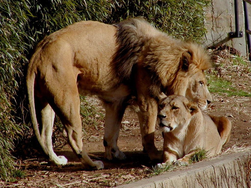 Male & Female Lions