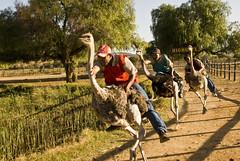 Course d'Autruches // Ostrich Racing (Alexander JE Bradley) Tags: africa red bird race southafrica ride african south feathers run du line ostrich jockey western cape dust highgate sud afrique westerncape oudtshoorn afriquedusud jocky alexanderbradley alexanderjebradley