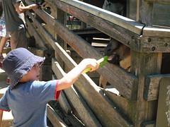 Ever hungry goats (hjus) Tags: park animals feeding ueno farm goats feed jonah harper celery farmanimals barnyard shelburne tilden littlefarm feedinganimals tildenregionalpark barnyardanimals ochan feedinggoats hjus