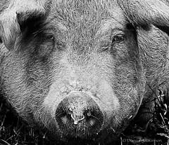 oink! (nailbender) Tags: bw pig bacon farm ham hog nailbender