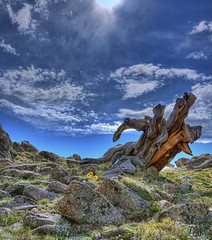 bristlecone stump (wishiwsthr) Tags: colorado bristleconepine wishiwsthr