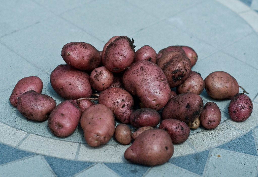 harvested potatoes-3