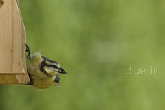 Blue tit - Msange bleue (nathaliehupin) Tags: bird oiseau bluetit msangebleue photographebruxelles nathaliehupin jardinbinche photographeluxembourg juillet2011 photographehainaut photographenamur photographeliege photographemons photographebelgique wwwnathaliehupinbe wwwnathaliehupingraphismebe