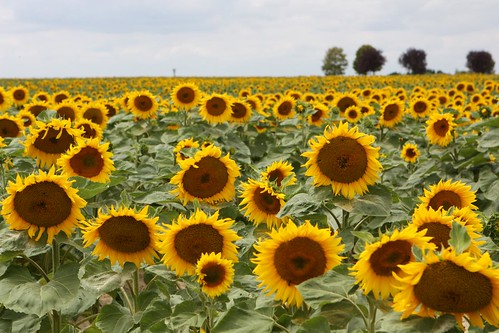 Sunflowers in the French Countryside