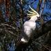 Cockatoo, ave muito comum por aqui
