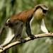 Macacos Mona