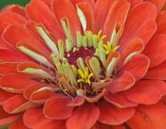 Zinnia Heart (johan.pipet) Tags: dahlia flowers red summer macro nature canon garden details sunny pd slovakia zinnia palo leto bartos barto