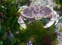 "NHME - crab by sea lettuce • <a style=""font-size:0.8em;"" href=""http://www.flickr.com/photos/30765416@N06/5941872530/"" target=""_blank"">View on Flickr</a>"