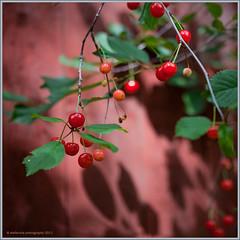 a teste of summer (stella-mia) Tags: shadow red summer cherry cherrytree cerasus morell ciliegia monchri   atesteofsummer annakrmcke krmcke