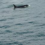 Orca Sighting thumbnail