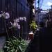 路地脇の花々