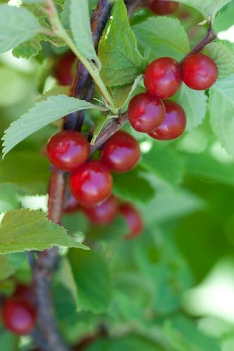 Nanking cherry / Viltkirss