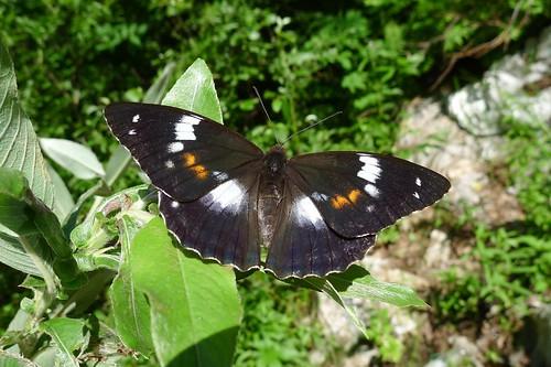 Amuriana (Mimathyma) schrenckii