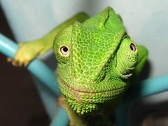 What ya lookin' at, buster? (yoel_tw) Tags: reptile toughguy chameleon soe reptiles  dontmesswithme  rovingeye whatyalookinat roamingeye skeweyed roamingeyes ifyouseemecominbetterstepaside