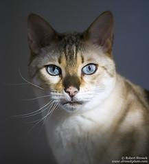Bokeh (Bob Stronck) Tags: pet cat feline exotic marbled housecat snowleopard purebred bengalcat seallynxpoint ©rmstronck stronckphotocom