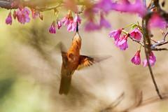 Clytolaema rubricauda (f) (Techuser) Tags: bird nature animal rainforest hummingbird hummer canon70300is itatiaianationalpark